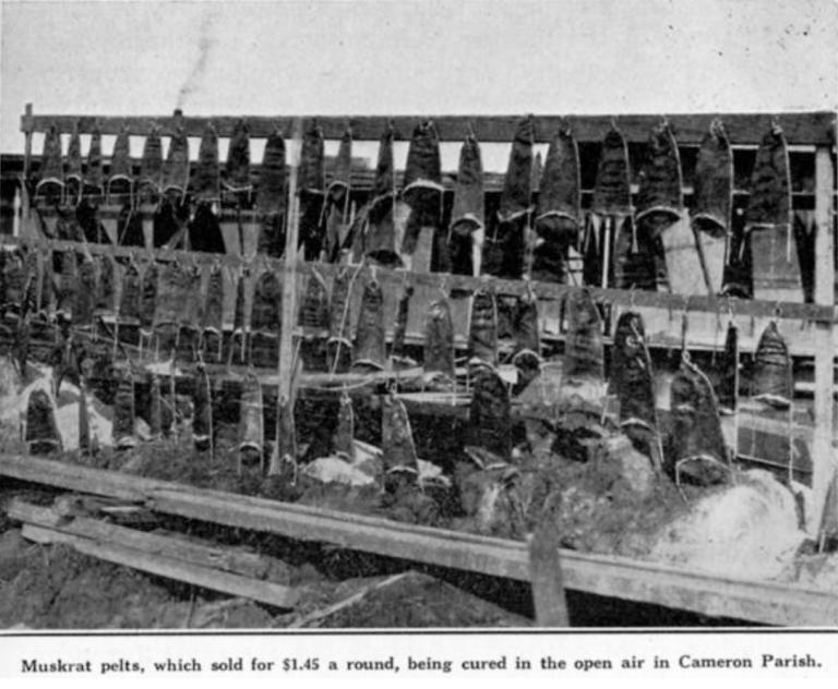 Muskrat Pelts on a Drying Rack (Louisiana Department of Conservation, 1927) (LSU)